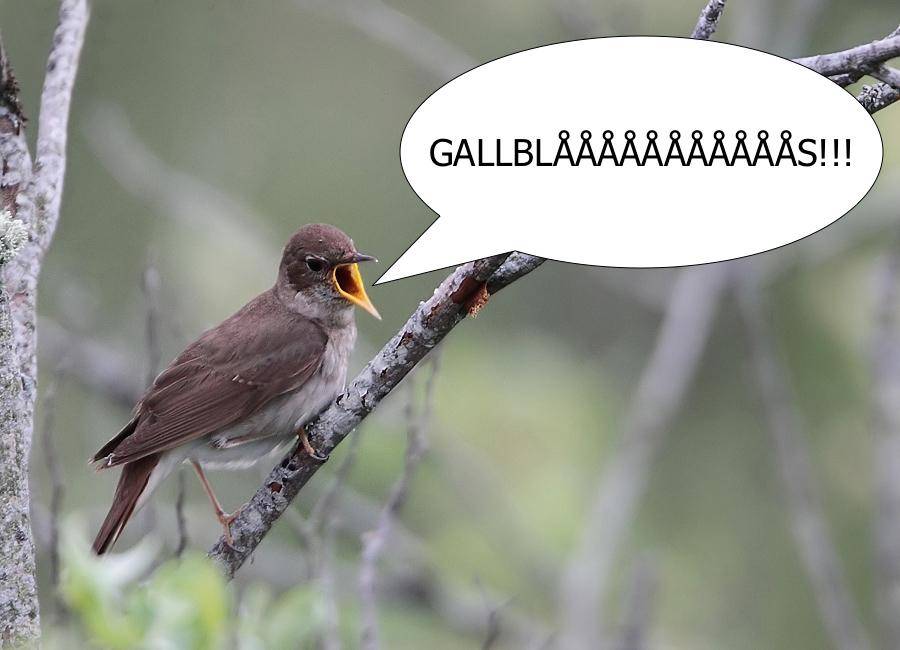 gallblås